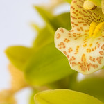 Yellow Tiger Spot Orchid